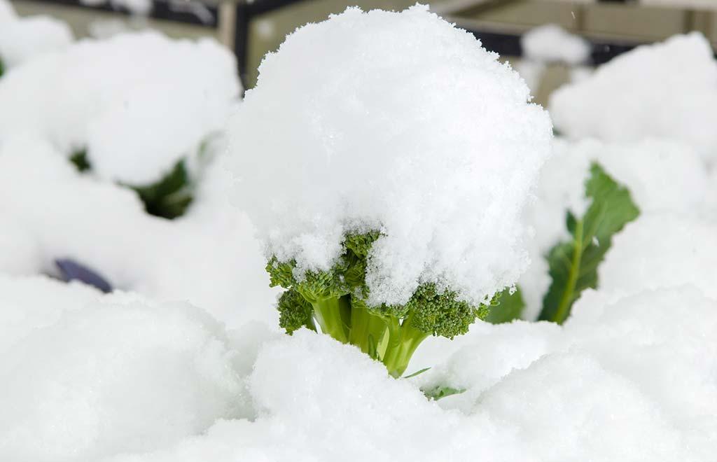EISZAPFEN UND EIS-SALAT – frisches Gemüse im Winter