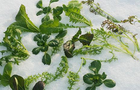 WINTERGEMÜSE – Ernten im Schnee