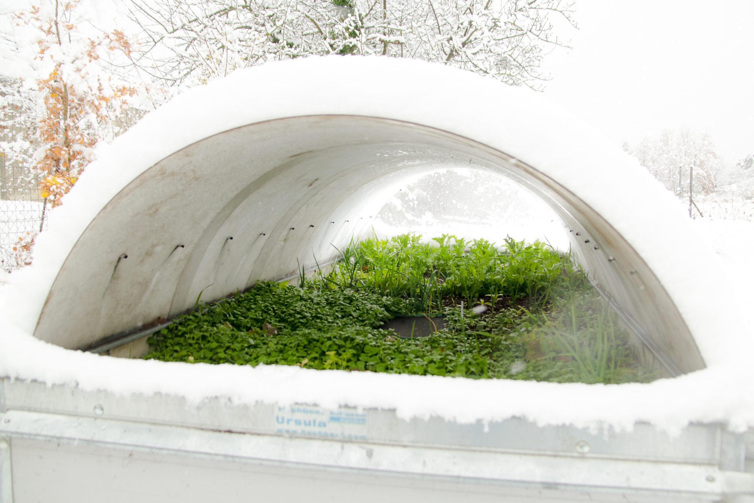WINTERGEMÜSE II – Ernten im Schnee